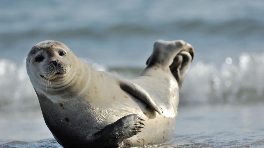 Защо не трябва да плувате около тюлени?