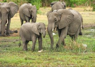 12 август е Световен ден на слона