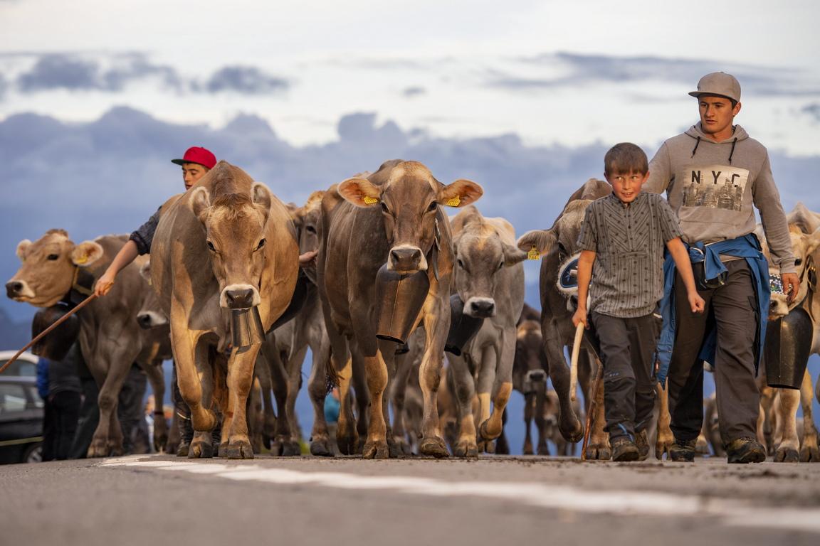 <p>Пастири водят крави по време на церемониалното сваляне на добитък, наречен `Bodenfahrt`, по време на който около 1000 крави се преместват от високите в по-ниските пасбища на прохода Клаузен в Алпите, Швейцария</p>  <p>&nbsp;</p>