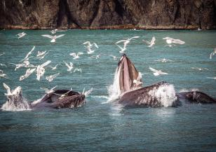 500 кита са заседнали край остров Тасмания