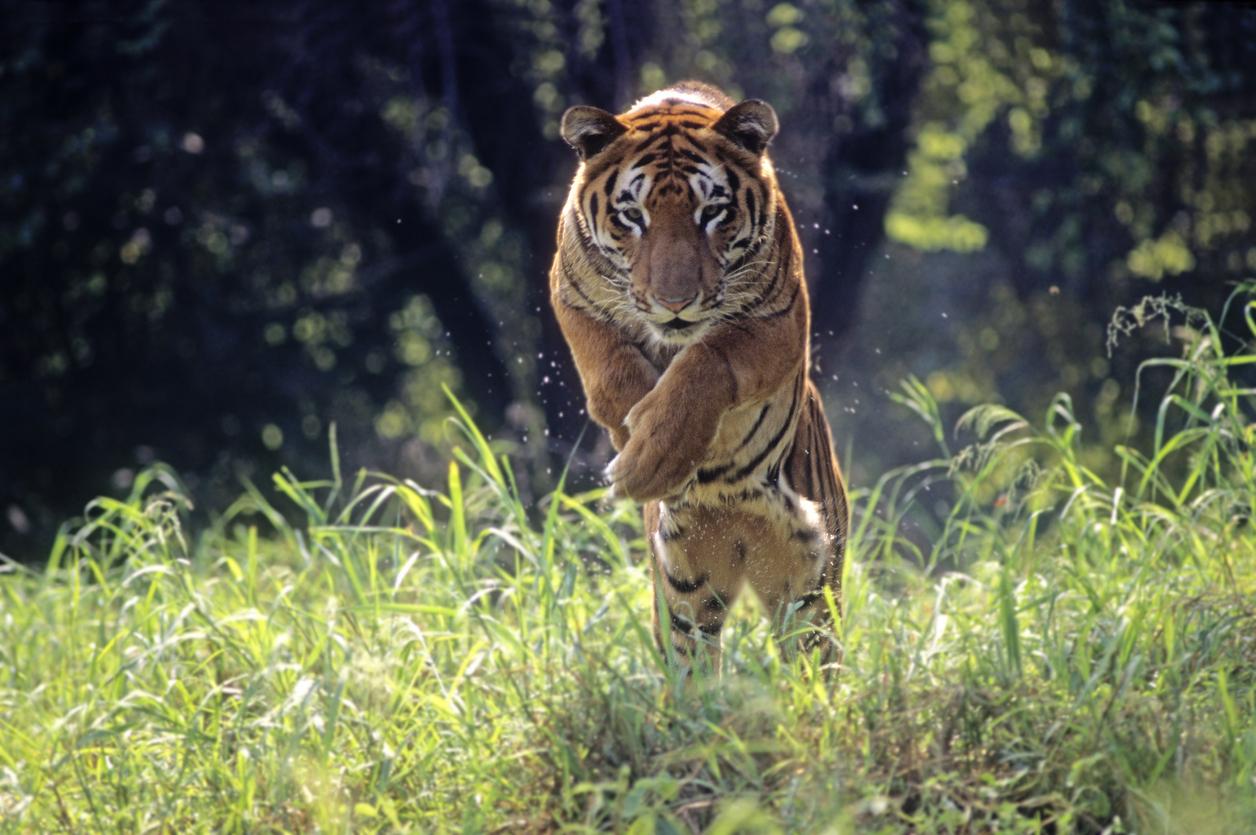 <p>2. Ревът на тигъра може да бъде чут на 3 километра разстояние</p>
