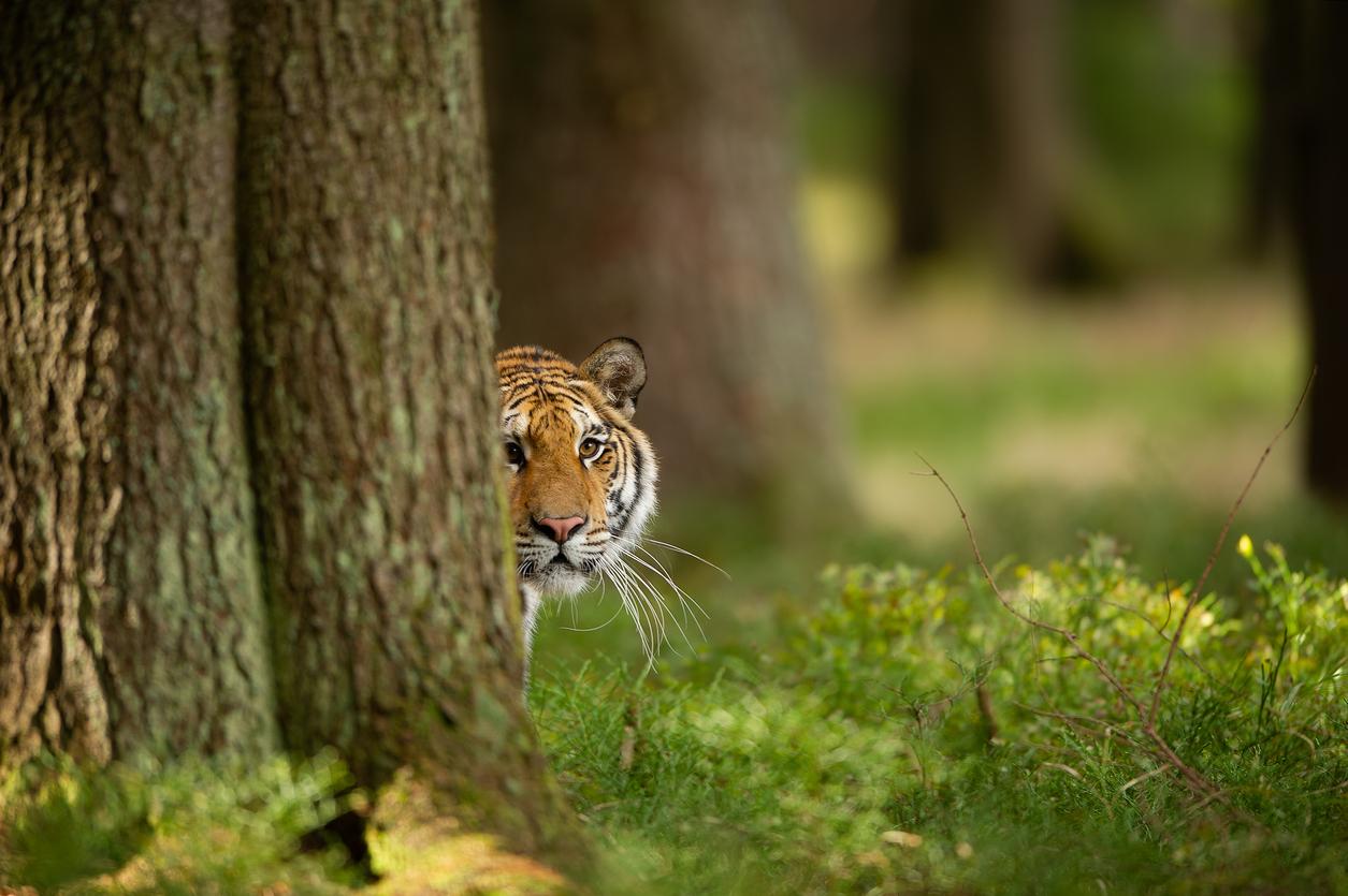 <p>5. Индия е страната с най-много тигри в дивата природа</p>  <p>Около 3000 от тигрите, които живеят в дивата природа, се намират в Индия.</p>