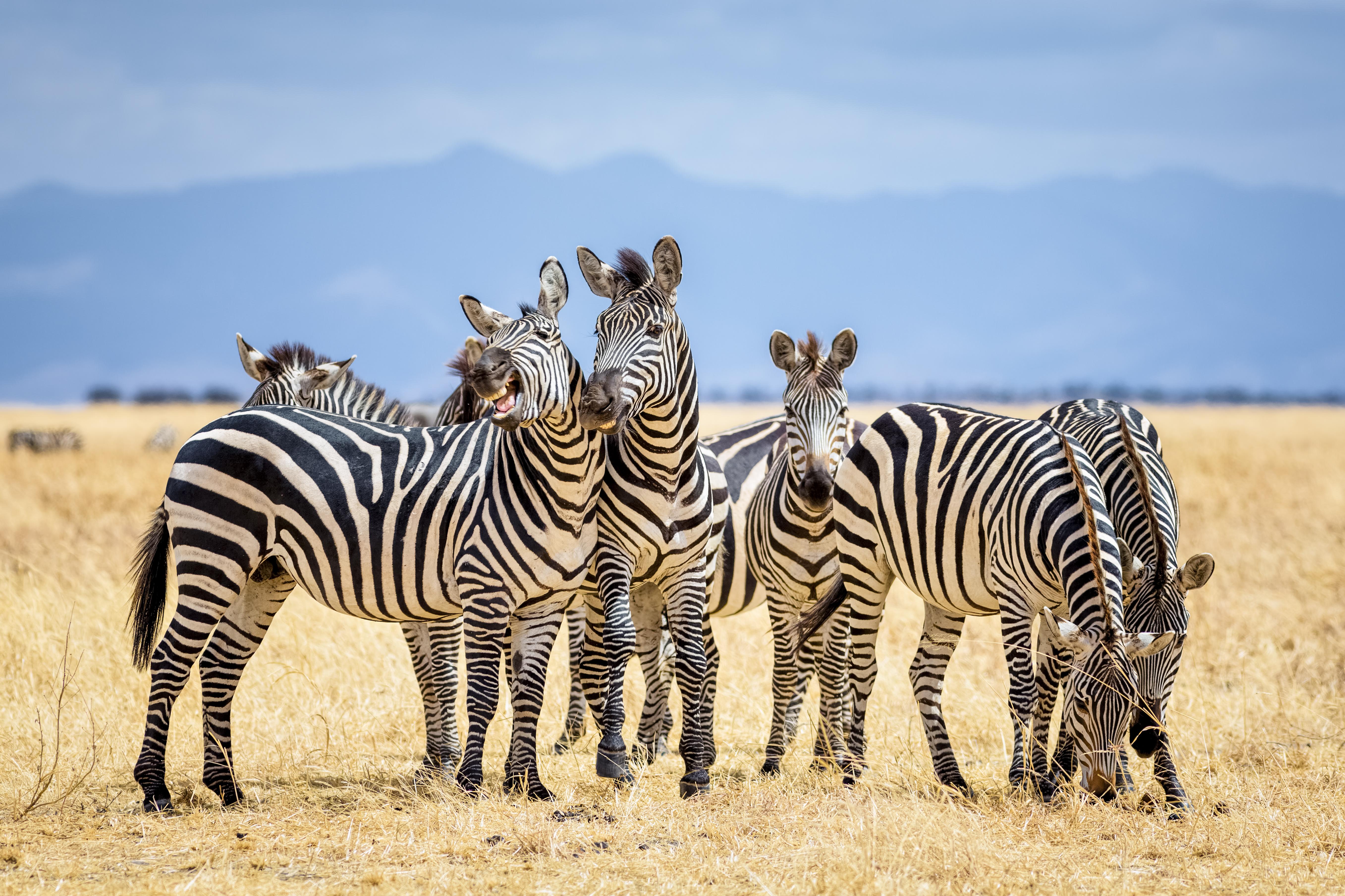 <p><strong>Зебра</strong></p>  <p>В света има три различни вида зебри - обикновена зебра, планинска зебра и т.нар. зебра на Гревѝ. В зависимост от вида, периодът на бременност може да варира. Обикновено той продължава между 10 и 12 месеца.</p>