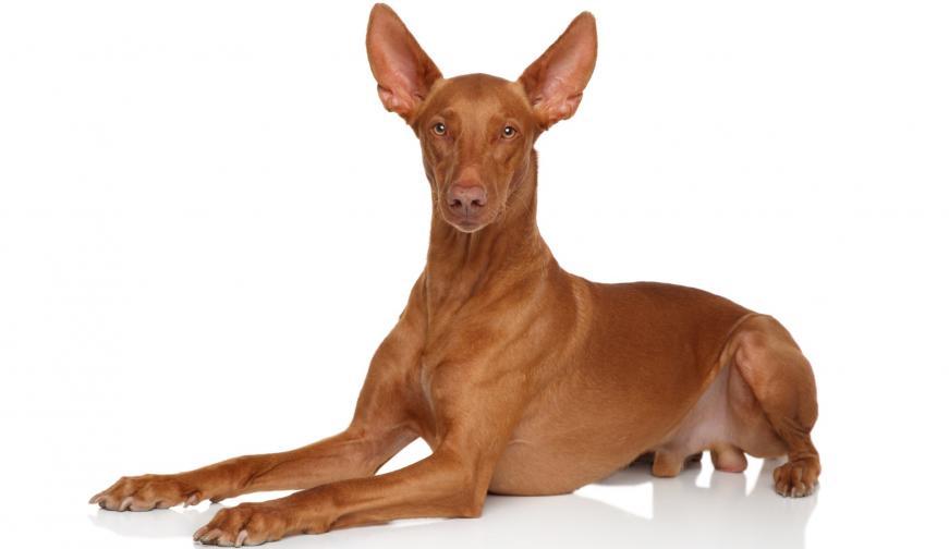 фараоново куче