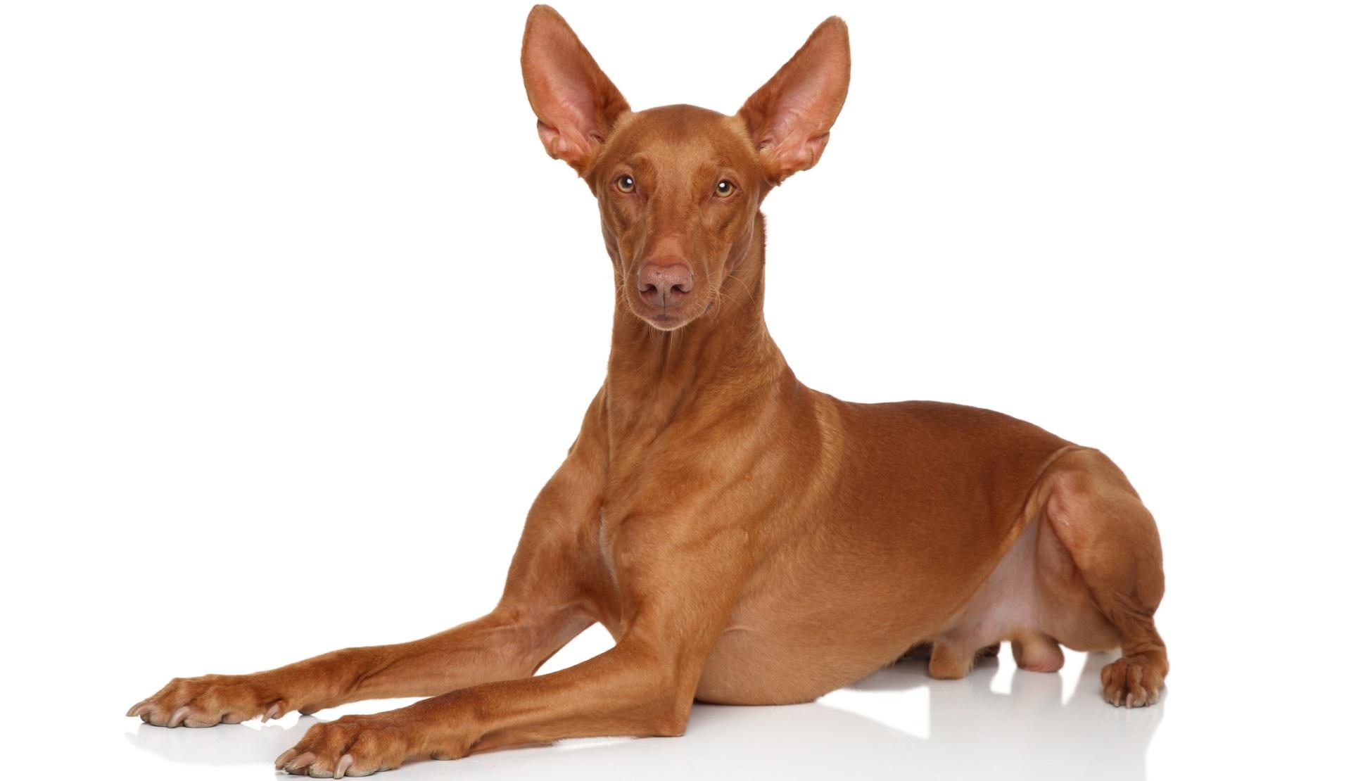 <p><strong>Фараоново куче</strong></p>  <p>Националното куче на Малта, което можете да притежавате за не по-малко от между 3000 и 7000 долара. Те нямат връзка с древен Египет, но популярен мит твърди, че породата произхожда от Tesem, едно от древните египетски ловни кучета. Интелигентни и понякога упорити, те са много независими и лесно им писва от повтарящи се команди.</p>