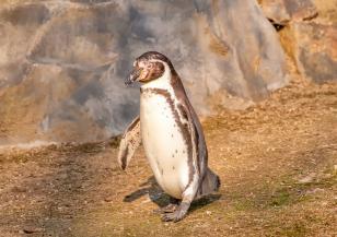 Откриха рядък вид пингвин на Галапагоските острови