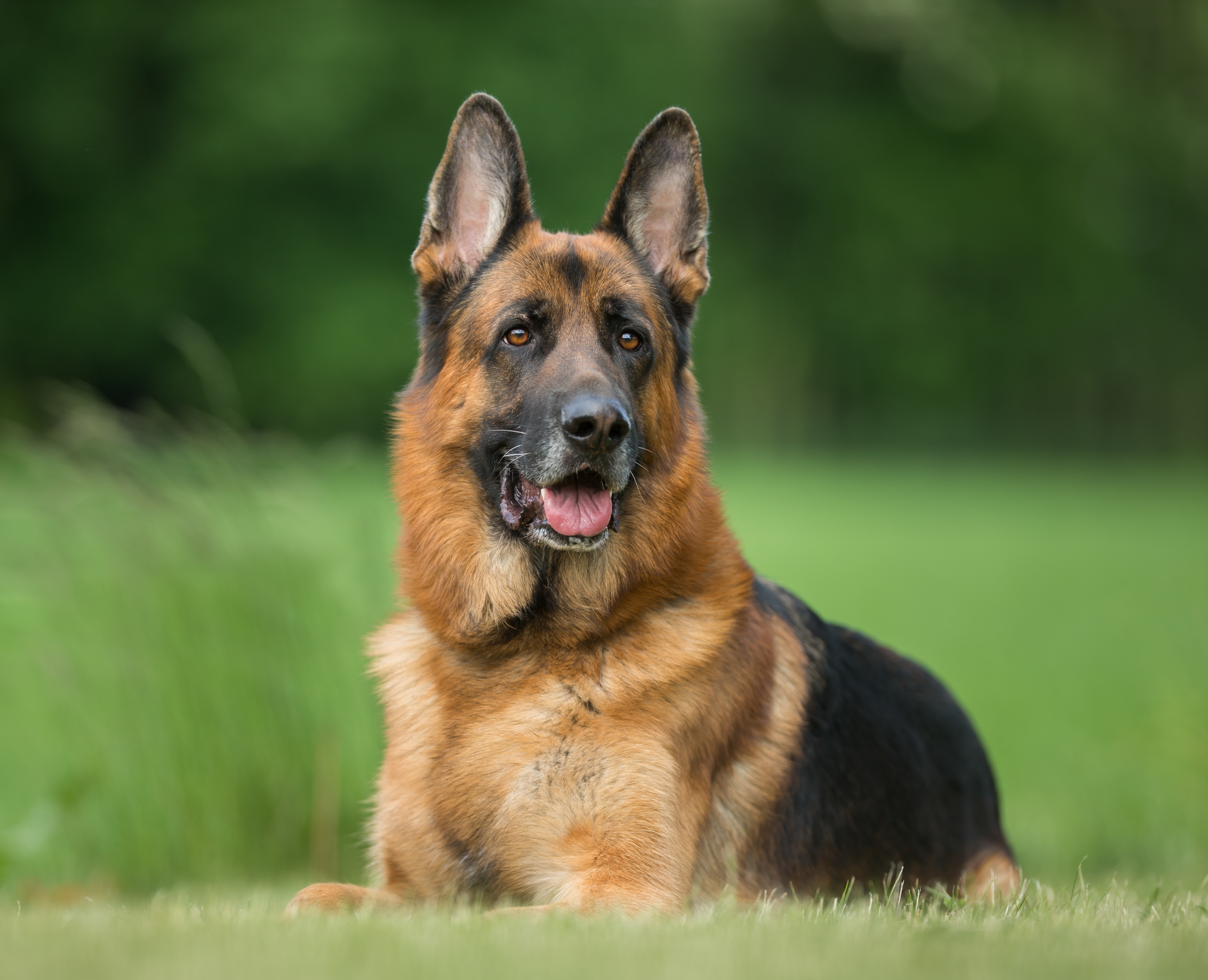 <p><strong>Немска овчарка</strong></p>  <p>Както подсказва името, тази порода кучета произлиза от Германия. Известни са със своята интелигентност, увереност, бдителност и безстрашие. Тези им качества ги правят предпочитаната порода кучета за работа в полицията. Въпреки това трябва да се внимава с немските овчарки. Те могат да се превърнат в голяма опасност, ако чувстват заплаха за своите стопани, територия или ако не са социализирани правилно.</p>