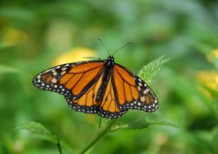 Пеперудите монарх са застрашени от изчезване