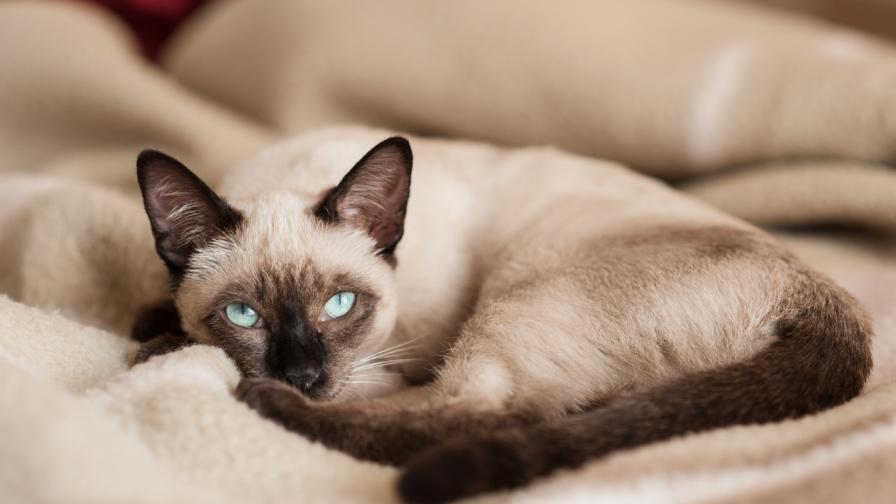 Тайните на една от най-красивите породи котки