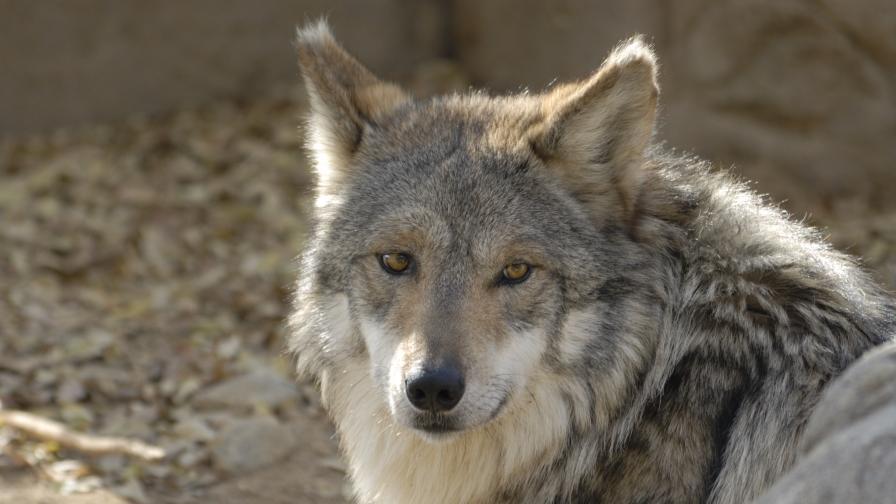 Вълк избяга от зоопарка в Хасково, има ли опасност за хората
