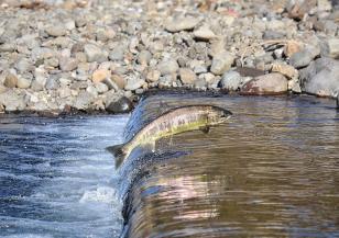 Сладководните риби в света катастрофално намаляват
