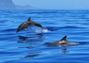 2000 делфина се струпаха край южния бряг на Калифорния