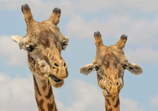 Спасиха 9 жирафа от потъващ остров в Кения