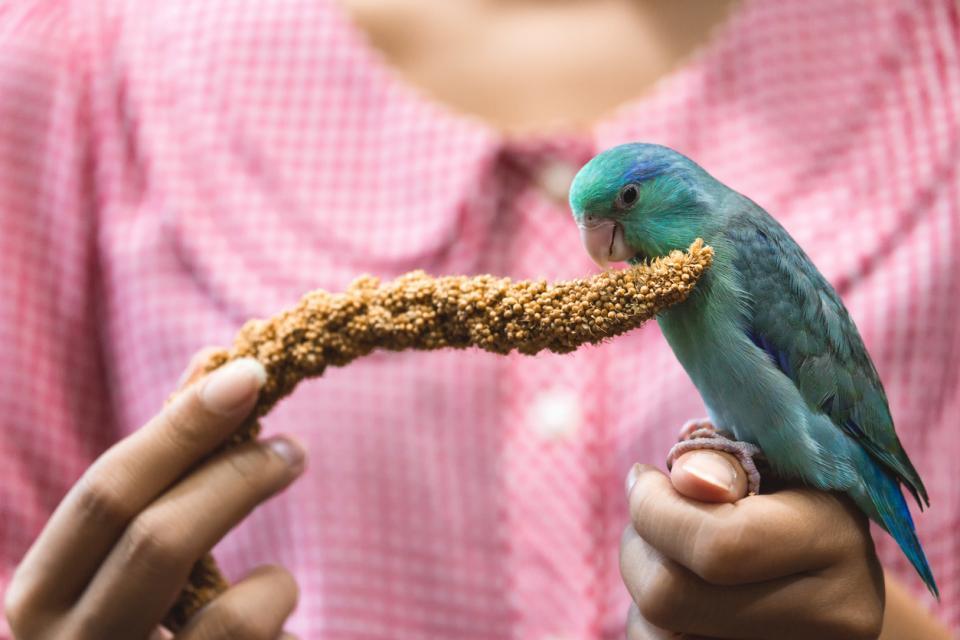 папагал домашен любимец