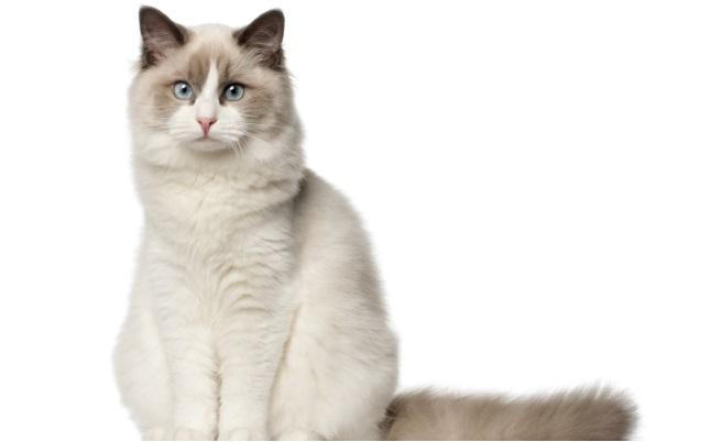 Котка от от породата Регдол