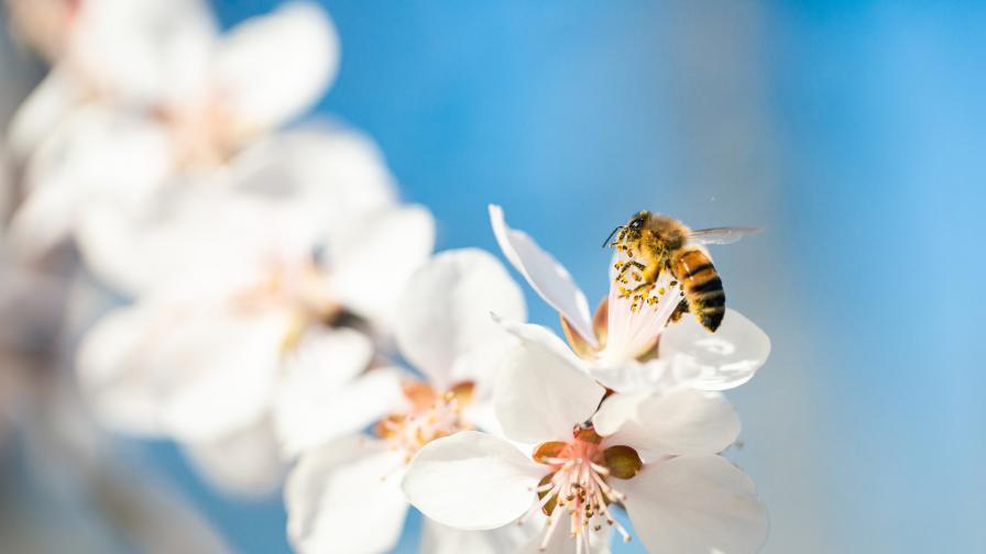 <p>Ако ги нямаше пчелите - няколко удивителни факта&nbsp;</p>