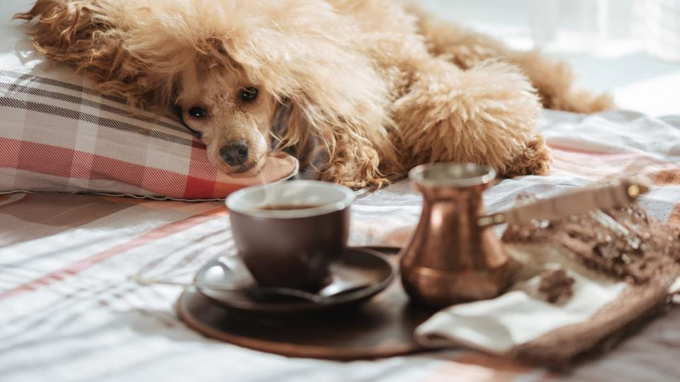дневен кафе куче