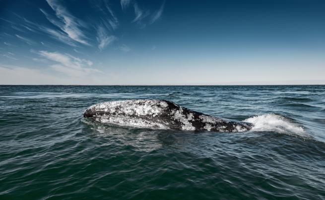 Сив кит преплува половината свят и постави рекорд
