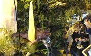 Застрашено трупно цвете цъфна в ботаническа градина във Варшава