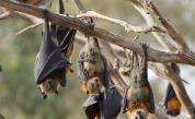 Опасна находка: Oткриха нов вид коронавирус у прилепи във Великобритания