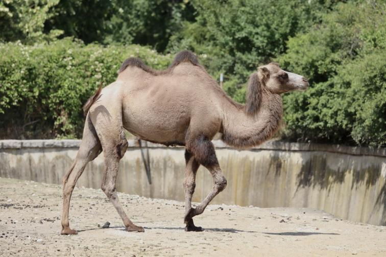 Четири нови двугърби камили в столичния зоопарк