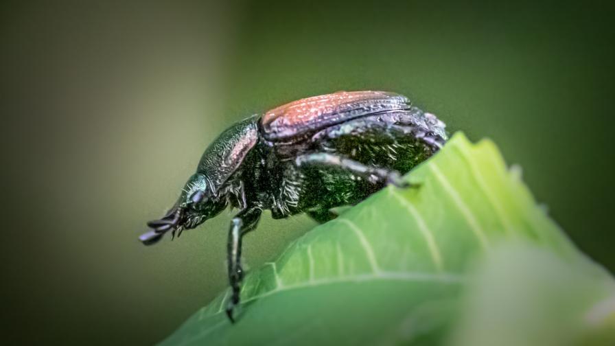 <p>Японски бръмбари заплашват Германия&nbsp;</p>