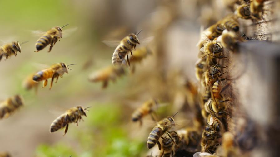 Учените алармират: Това убива пчелите