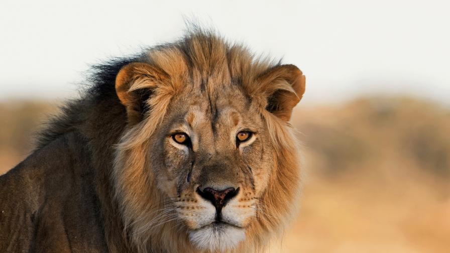 <p>Любопитни факти по повод Световния ден на лъва</p>