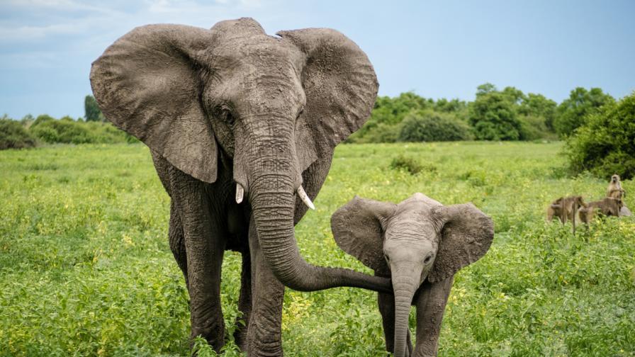 <p>Световен ден на слона! Защо този бозайник е застрашен</p>