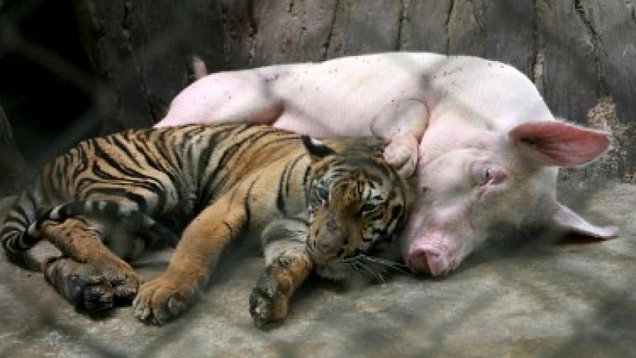 Прасчо и Тигъра съжителстват заедно в тайландски зоопарк