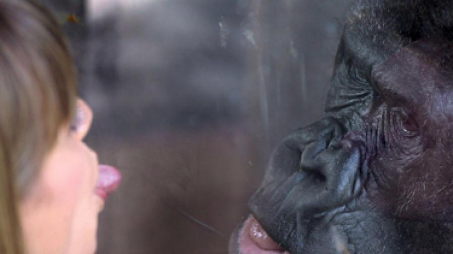 ХИВ при горилите се пренася и при хората