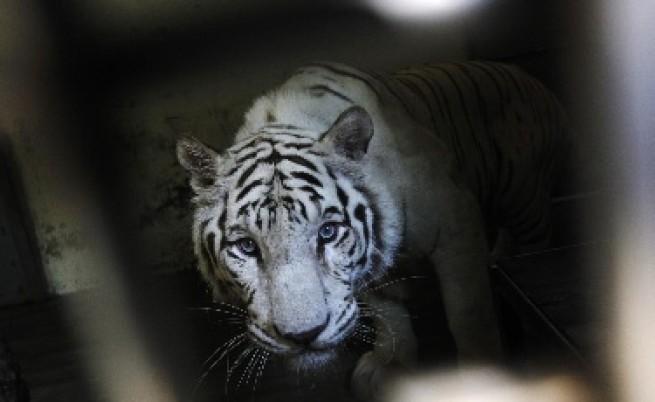 Двойка тигри бяга от зоопарк