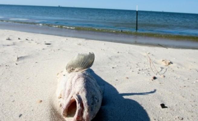 Стотици мъртви риби изхвърлени по румънските плажове