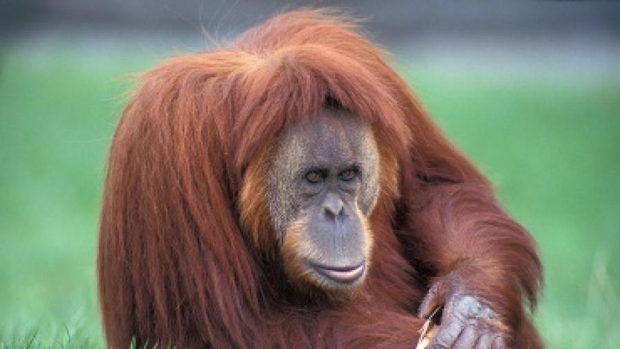 Маймуна-фотограф в зоопарка на Виена