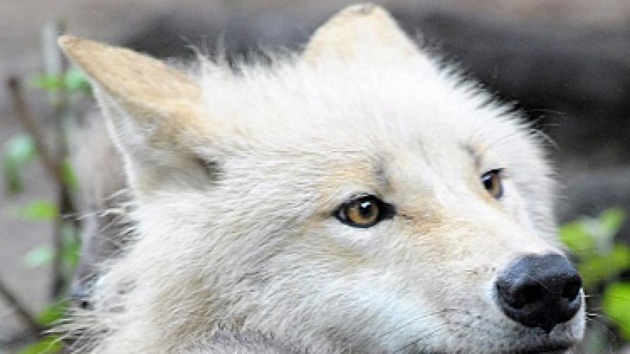 С хевиметъл срещу вълците