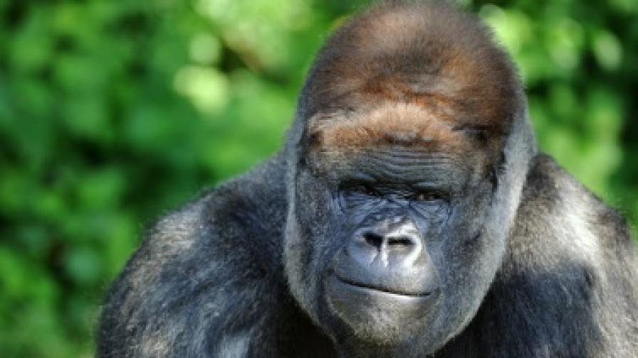Амбам – горилата човек