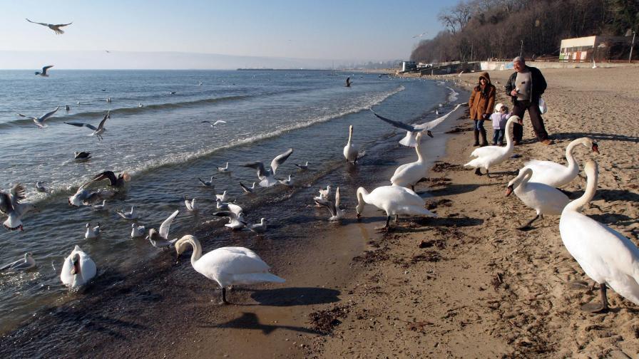 Малки рачета поеха чистенето на Варненския залив