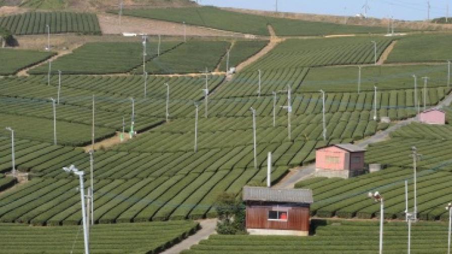 Радиация и в японския зелен чай