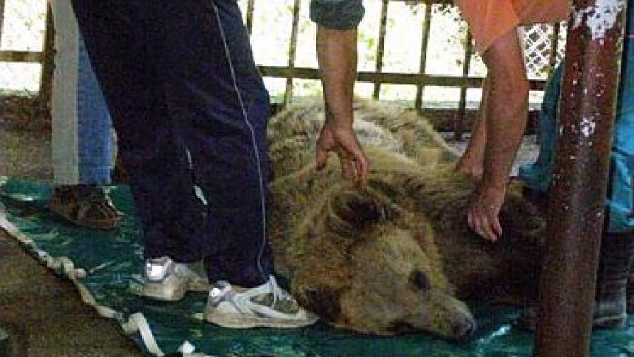 Оперираха успешно крака на мечката Бойка