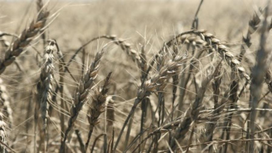Ще изнасяме зърно за Йордания