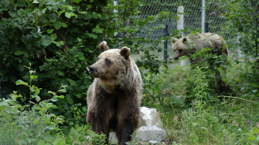 Нов бизнес у нас: Наблюдение на мечки