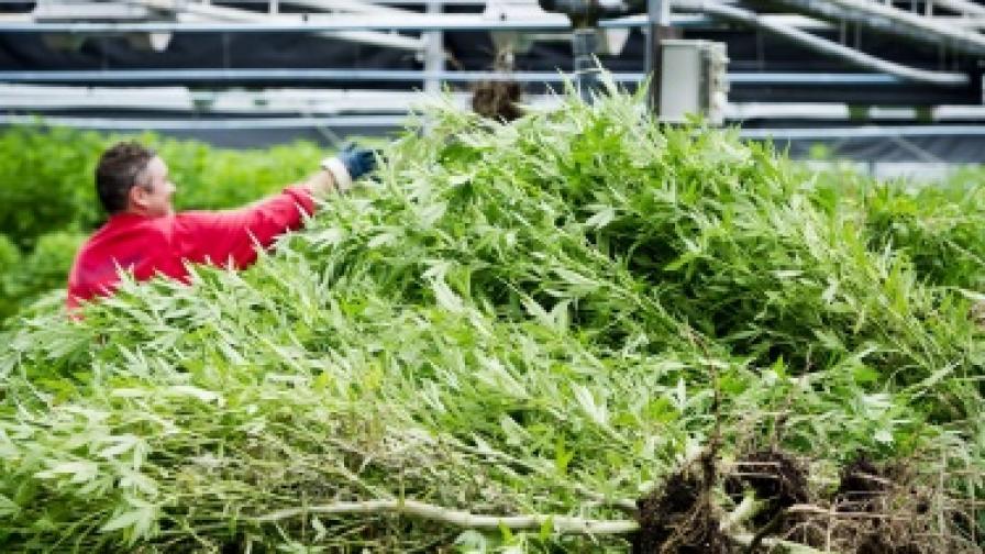 50% от американците са за легализиране на марихуаната