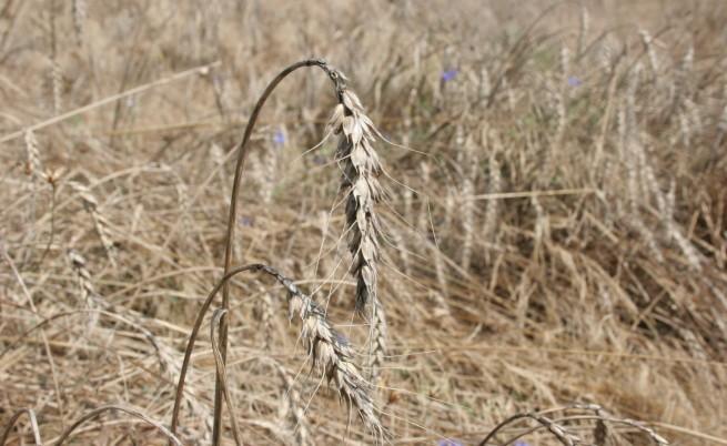 Дългите студени периоди бавят пшеницата у нас
