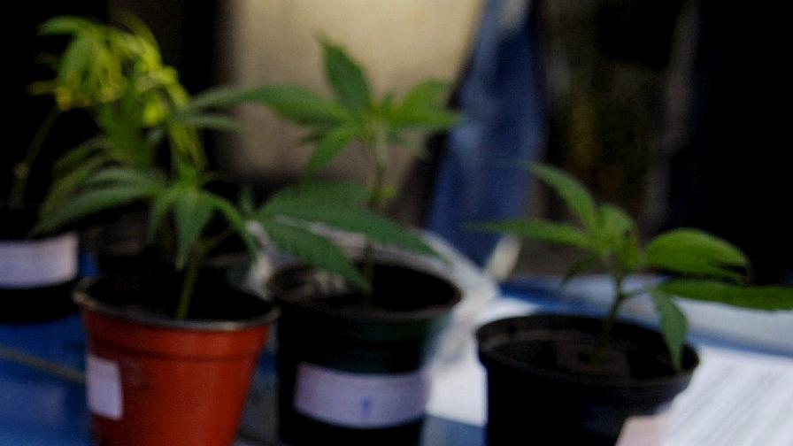 Година и половина затвор за марихуана като елха