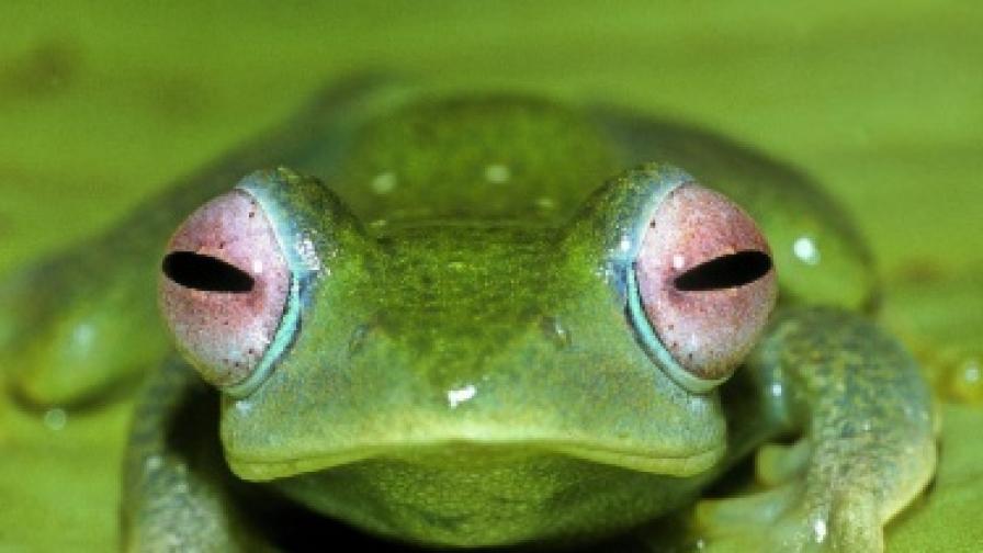 Откриха миниатюрна жаба рекордьор