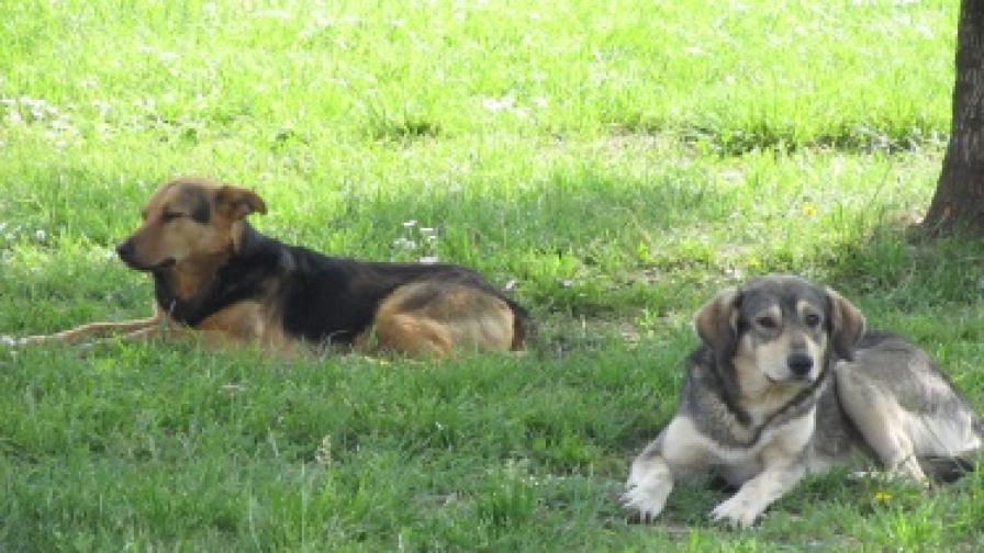 Община Перник плаща 16 800 лв. на ухапани от безстопанствени кучета