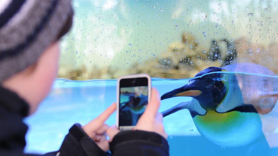 Похитиха пингвин от зоопарк в Австралия