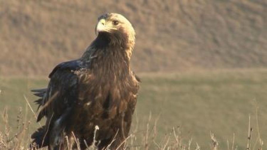 Царският орел е една от най-редките и красиви птици, които се срещат в България