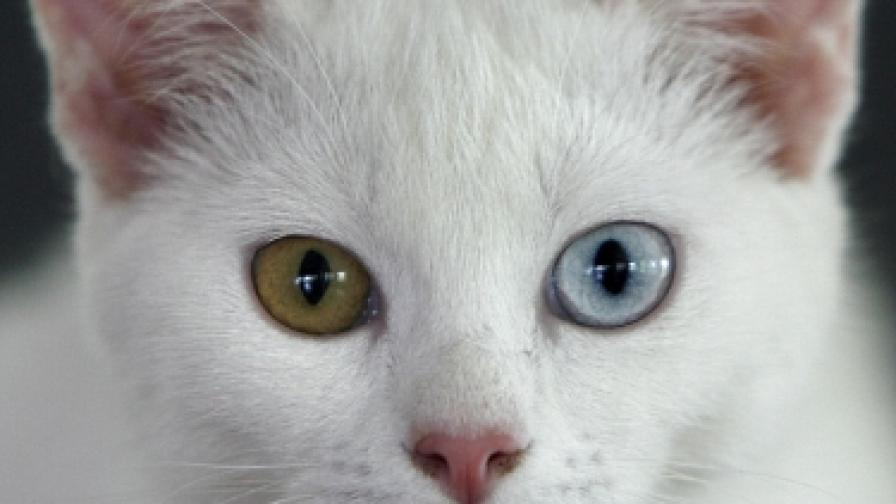 Вече и конкурс за мис най-красива котка