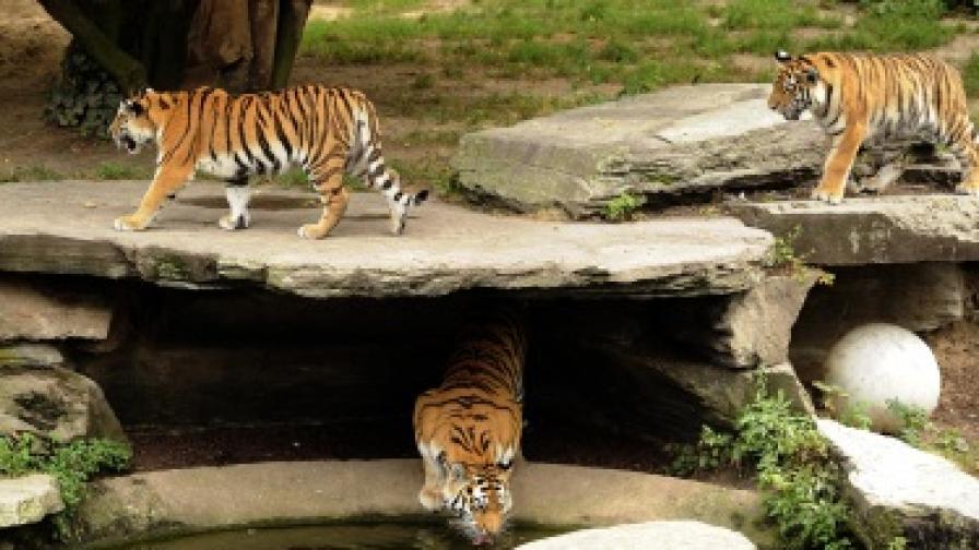 Тигър уби пазач в немски зоопарк